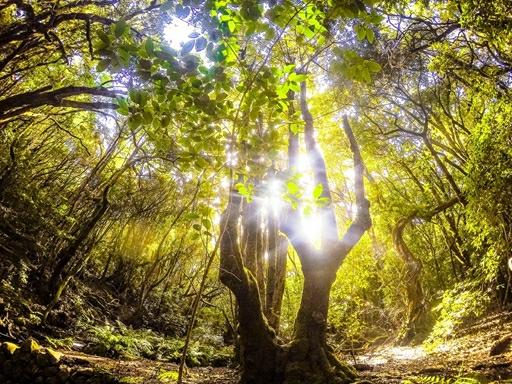 Sjælden laurasilva urskov i nationalparken Garajonay