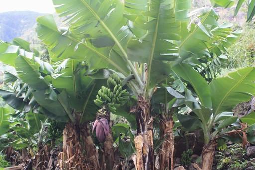 Sødlige kanarisk bananer - blomsten er hankønnet og frugten hunkønnet.