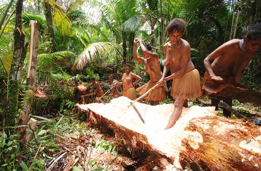 En sagopalme kan indeholde op til 400 kilo stivelseholdigt marv