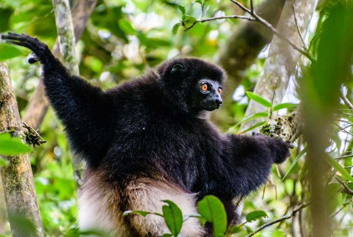 største lemur madagaskar