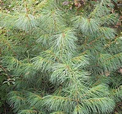 Pinus peuce - salgshøjde.: 40-60 cm. - Silkefyr