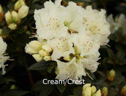 Rhododendron Småbl. chryseum 'Cream Crest'   - Salgshøjde: 25-30 cm. (BA)