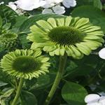 ECHINACEA purpurea 'Green Jewel' ® (Rudbeckia) - Solhat