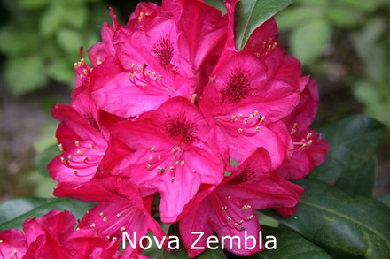 Rhododendron Storbl. 'Nova Zembla'   - Salgshøjde: 40-50 cm. (BA)