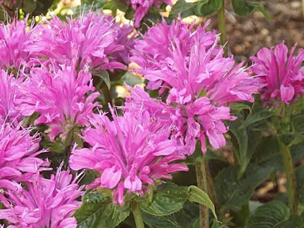 MONARDA hybrid &#39;Petite Delight&#39;  - Hestemynte (MS)