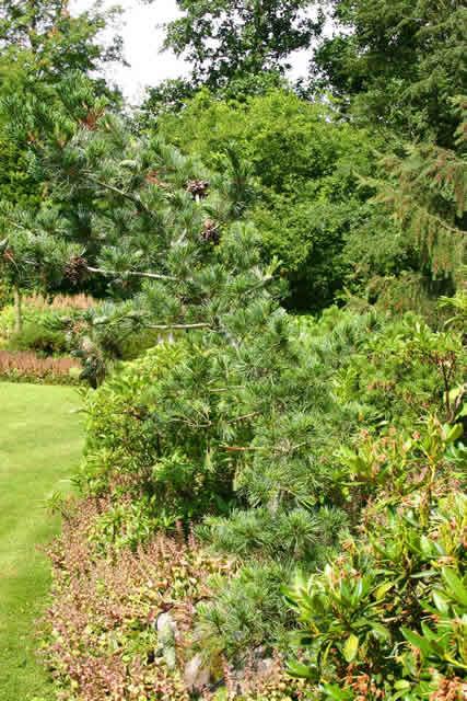 Pinus parviflora 'Glauca' - salgshøjde.: 40-60 cm. - Penselfyr (NP)