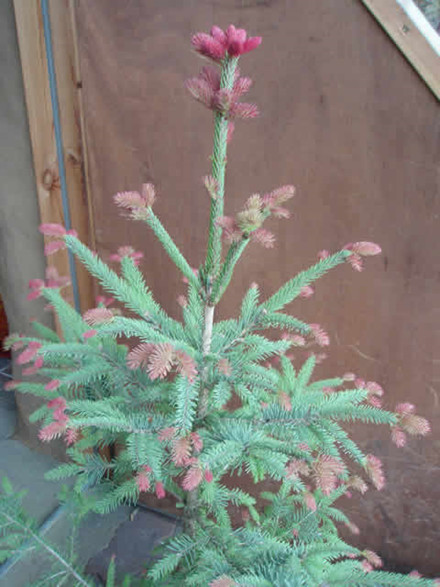 "Picea abies ""Jordbærgran"" - salgshøjde.: 40-60 cm.- Rødgran"