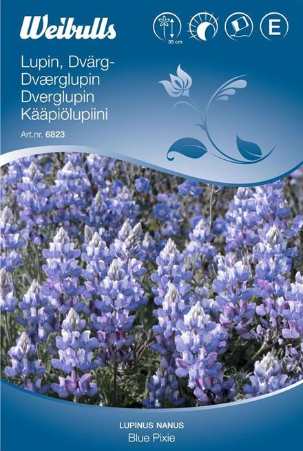 Dværglupin - Lupinus nanus - Blue Pixie - Frø (W6823)