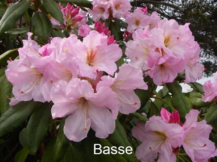 Rhododendron Storbl. 'Basse'   - Salgshøjde: 30-40 cm. (BA)