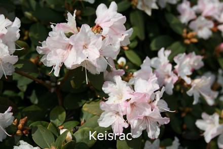 Rhododendron Småbl. keiskei 'Keisrac'   - Salgshøjde: 20-30 cm. (BA)