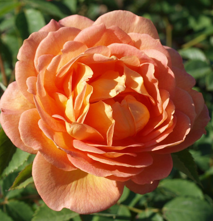 Rose Lady of Shalott (engelsk rose)