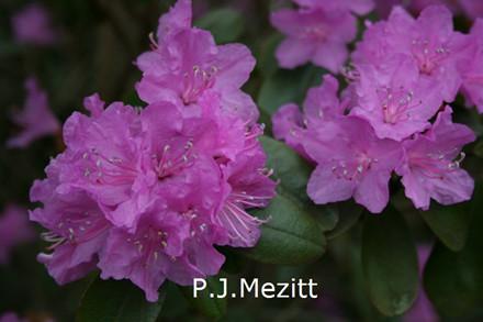 Rhododendron Småbl. carolinianum 'P.J.Mezitt'  - Salgshøjde: 20-40 cm. (BA)