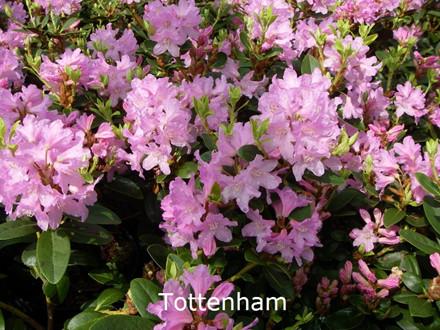 Rhododendron Småbl. ferruginium 'Tottenham'   - Salgshøjde: 25-40 cm. (BA)