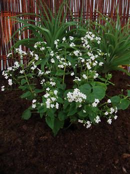 BRUNNERA macrophylla 'Betty Bowring' - Kærmindesøster (MS)