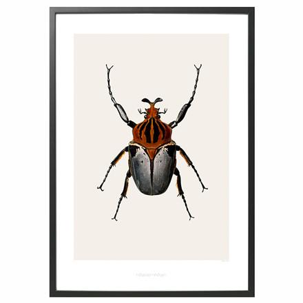Hagedornhagen Goliatus Cacicus B4