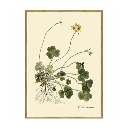 The Dybdahl Co. Oxalis Compressa Plant Poster