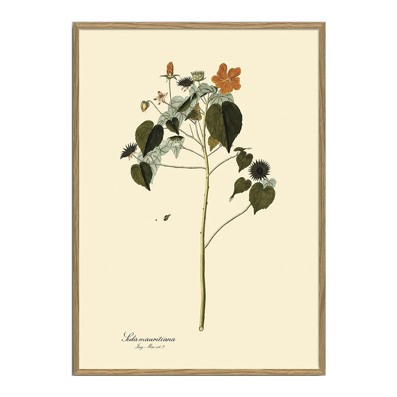 The Dybdahl Co. Sida Mauritiana Plant Poster