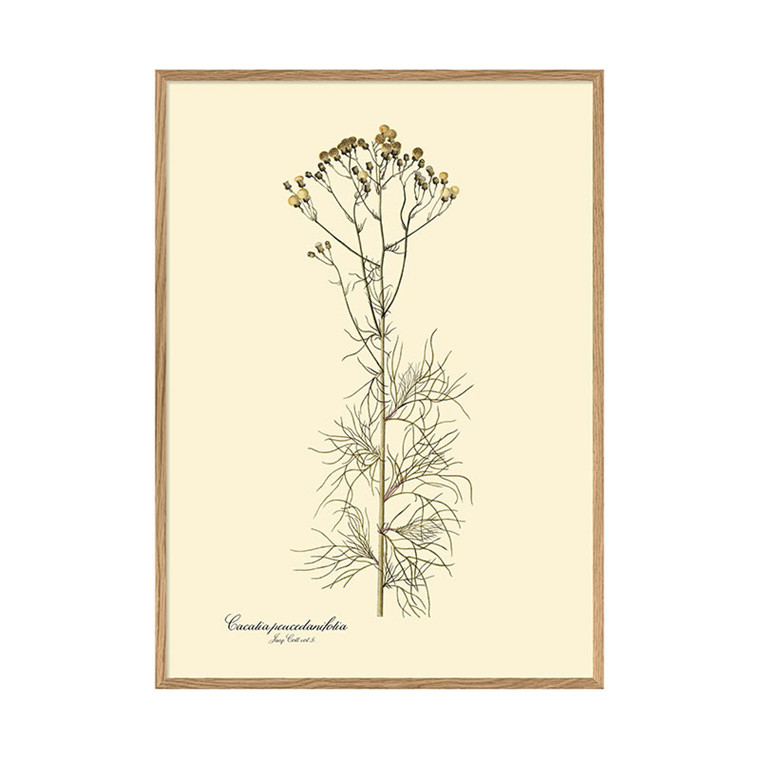 The Dybdahl Co. Cacalia Peucedanifolia Plakat