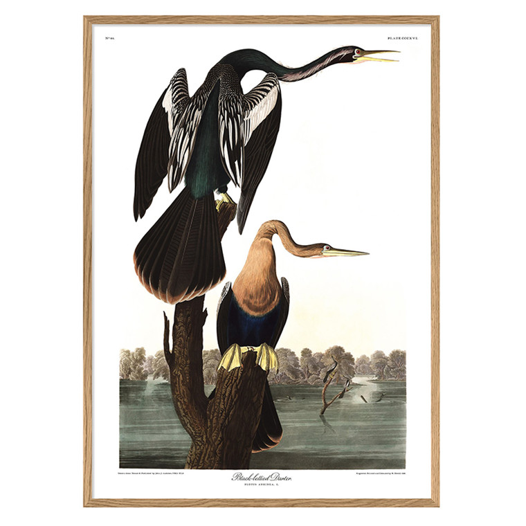 The Dybdahl Co. Black-Bellied Darter Plakat