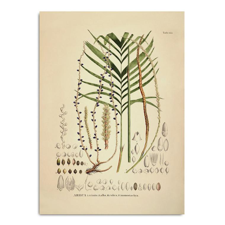 The Dybdahl Co. Areca Crinita Alba Rubra Monostachya Plakat