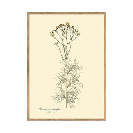 The Dybdahl Co. Cacalia Peucedanifolia Plakat
