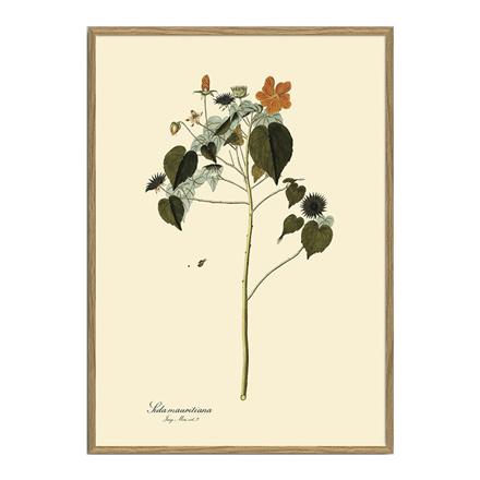 The Dybdahl Co. Sida Mauritiana Plant Poster