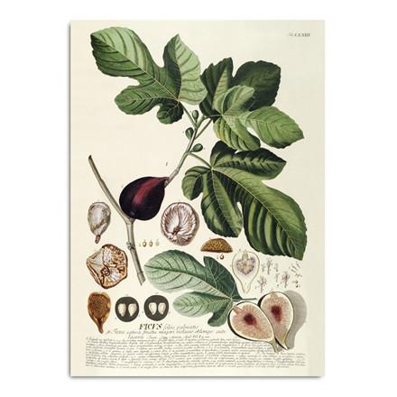 The Dybdahl Co. Ficus Plakat