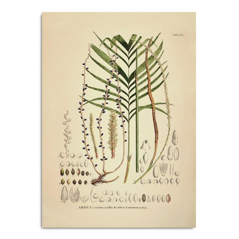 The dybdahl co. – The dybdahl co. areca crinita alba rubra monostachya plakat fra livingshop