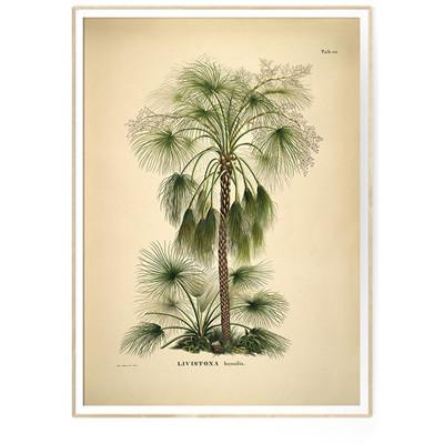 The Dybdahl Co Print LIVISTONA humilis Botanical Palme