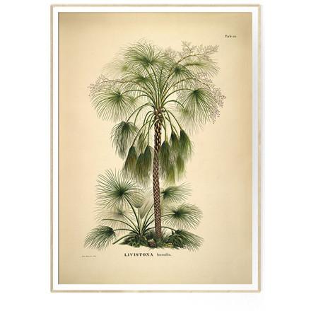 The Dybdahl Co LIVISTONA humilis Botanical Palm Print 50 x 70 cm