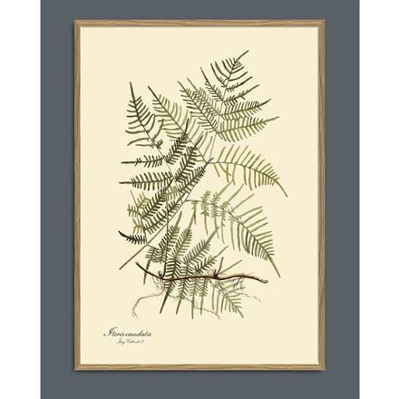 The Dybdahl Co Steris Caudata Plant Poster