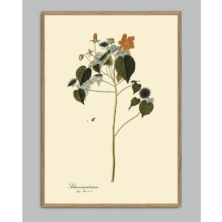 The Dybdahl Co Sida Mauritiana Plant Poster