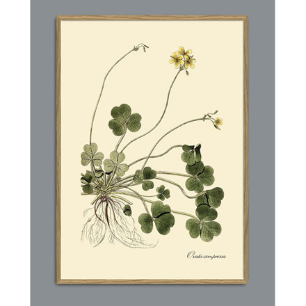 The Dybdahl Co Oxalis Compressa Plant Poster