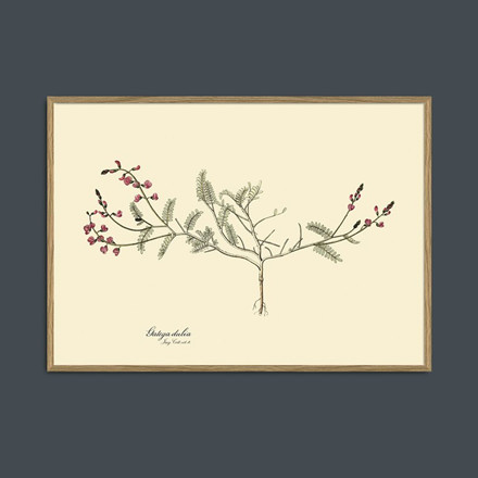 The Dybdahl Co Galega Dubia Plant Print