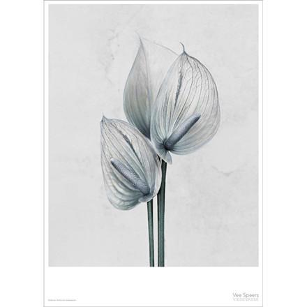 Vee Speers Plakat Botanica, Anthurium Andreanum