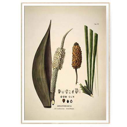 The Dybdahl Co DIPLOTHEMIUM caudescens & maritimum Botanical Palm Print