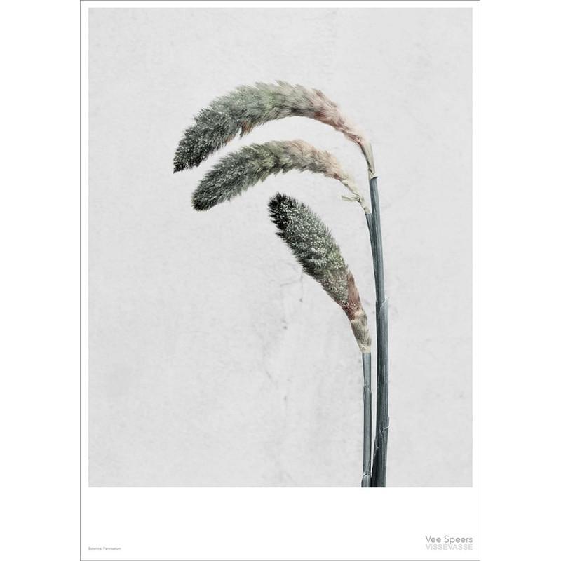 Vee Speers Plakat Botanica, Pennisetum