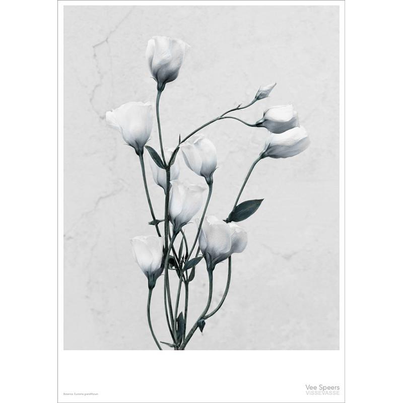 Vee Speers Plakat Botanica, Eustoma Grandiflorum