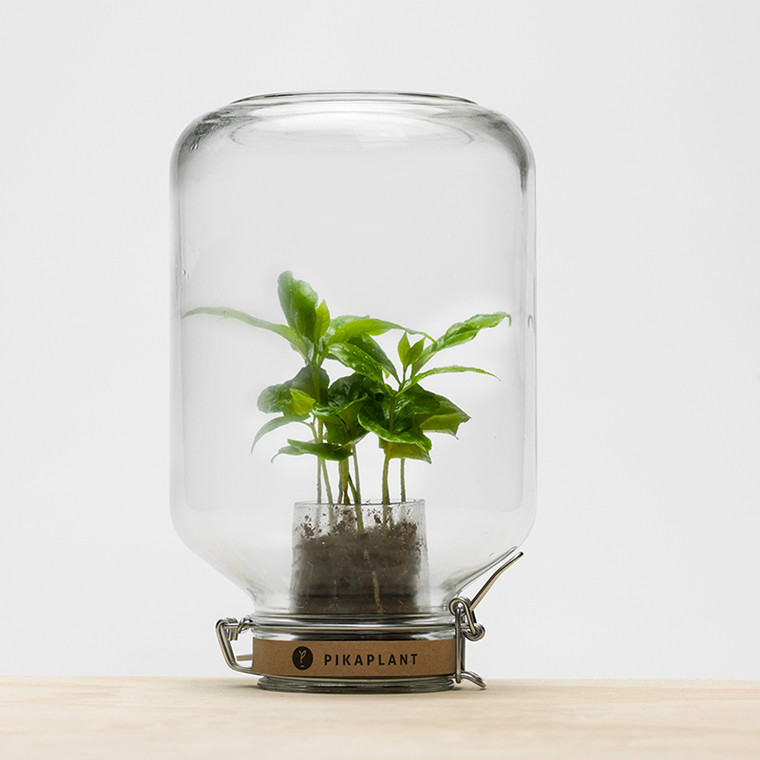 Pikaplant Jar - Kaffeplante