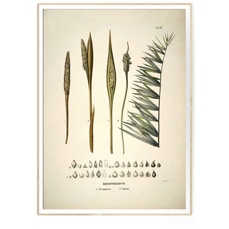The Dybdahl Co DIPLOTHEMIUM campestre & littorale Botanical Palm Print