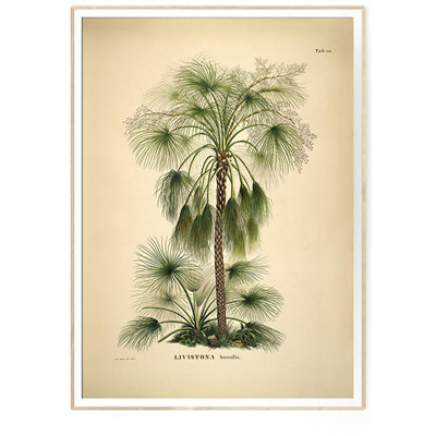 The Dybdahl Co Print LIVISTONA humilis Botanical Palm