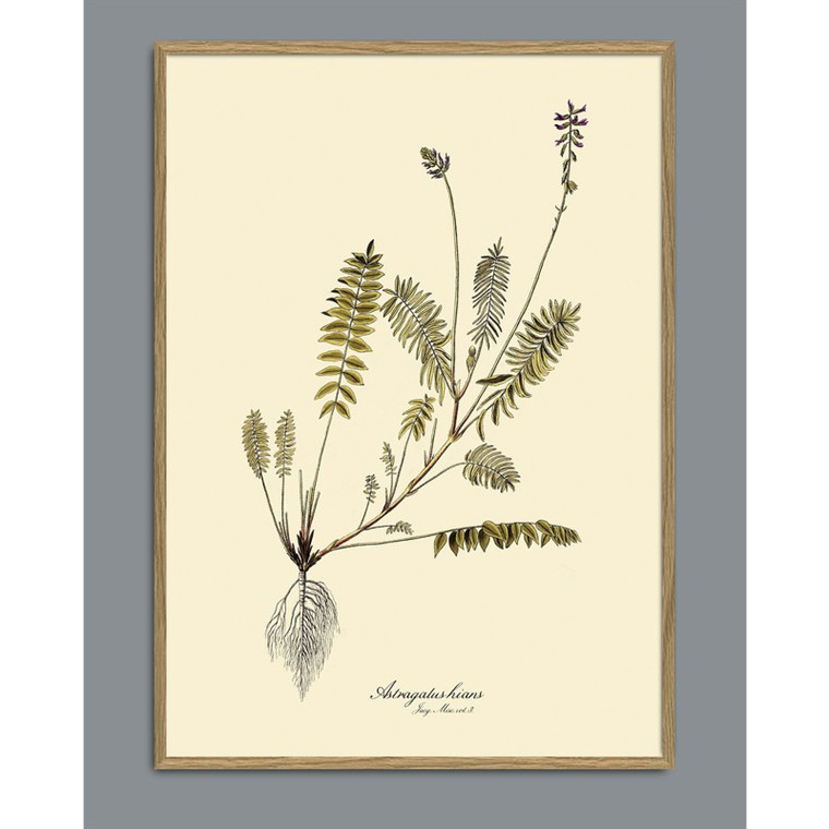 The Dybdahl Co Astragalus Hians Plant Poster