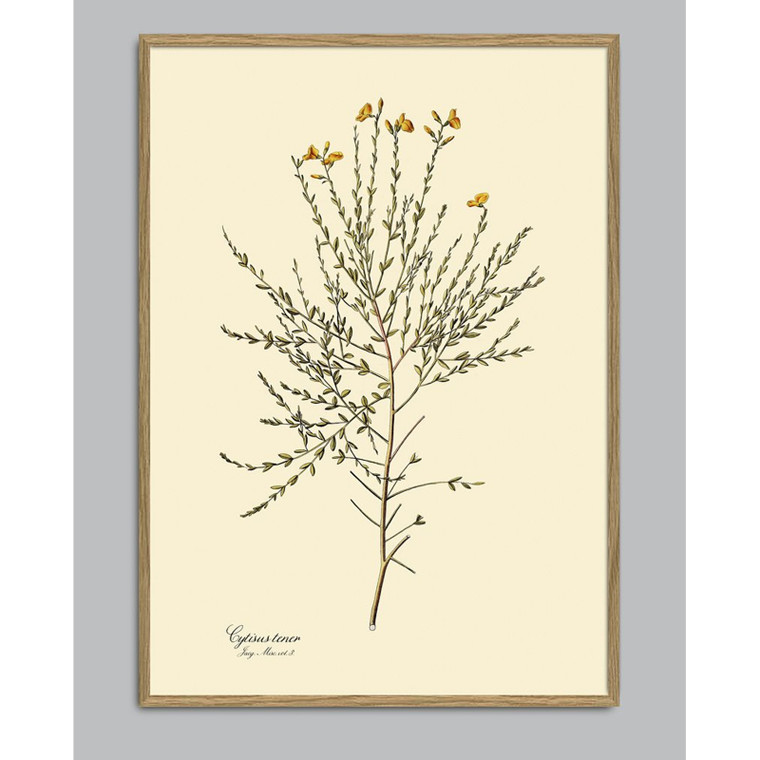 The Dybdahl Co Cytisus Tener Plant Poster