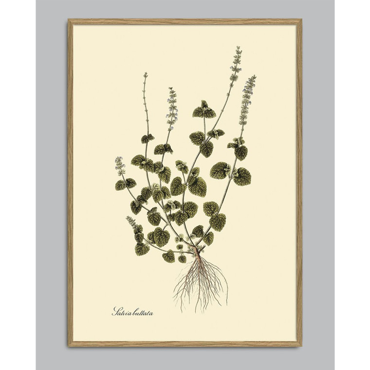 The Dybdahl Co Salvia Bullata Plant Poster