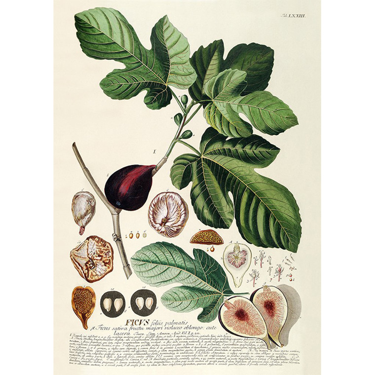 The Dybdahl Co Ficus Plantae Print