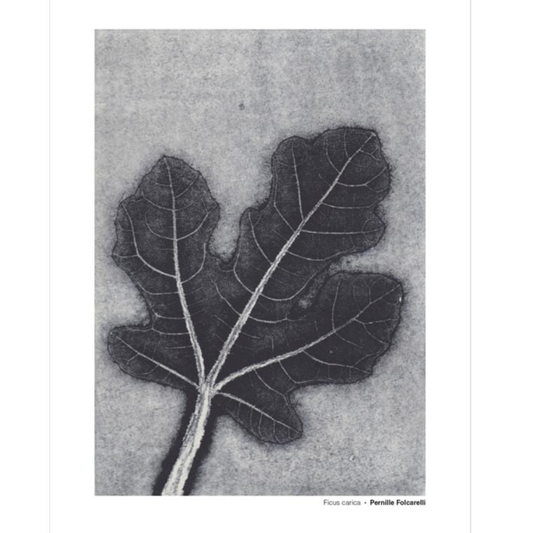 Pernille Folcarelli Ficus Carica Illustration m. Ramme