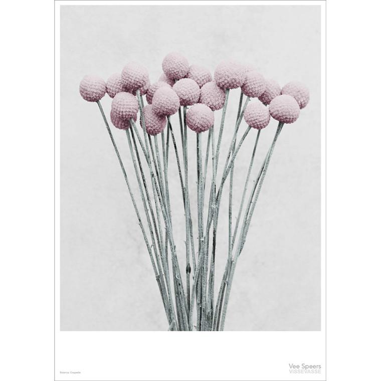 Vee Speers Plakat Botanica, Craspedia