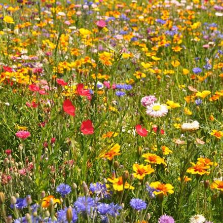 Lav Blomstermark - 1-årige sommerblomster- 1kg. Pose - Frø (P722501)