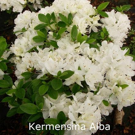 Rhododendron 'Kermesina Alba' (Japansk azalea) - Salgshøjde: 15-30 cm.
