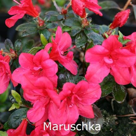 Rhododendron (Japansk azalea) 'Maruschka'    - Salgshøjde: 15-25 cm.